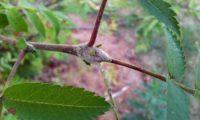 gomo ou gema de tramazeira, cornogodinho, sorveira-brava – Sorbus aucuparia