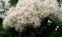 floração de tramazeira, cornogodinho, sorveira-brava – Sorbus aucuparia