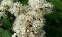 flores e botões de tramazeira, cornogodinho, sorveira-brava – Sorbus aucuparia