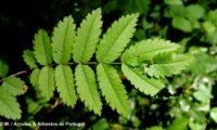 página superior, margens serrilhadas de tramazeira, cornogodinho, sorveira-brava – Sorbus aucuparia