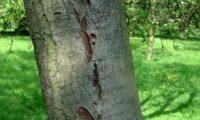 ritidoma jovem fissurado de tramazeira, cornogodinho, sorveira-brava - Sorbus aucuparia
