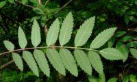 página inferior composta de tramazeira, cornogodinho, sorveira-brava – Sorbus aucuparia