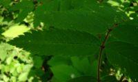 folíolo, página superior de tramazeira, cornogodinho, sorveira-brava – Sorbus aucuparia