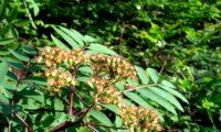 pomos em maturação de tramazeira, cornogodinho, sorveira-brava – Sorbus aucuparia