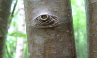 ritidoma jovem com lenticelas de tramazeira, cornogodinho, sorveira-brava - Sorbus aucuparia