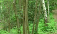 multicaules de tramazeira, cornogodinho, sorveira-brava - Sorbus aucuparia
