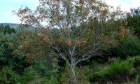hábito outonal de tramazeira, cornogodinho, sorveira-brava - Sorbus aucuparia