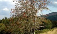 tramazeira vestida dos seus frutos - Sorbus aucuparia