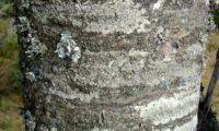 ritidoma adulto de tramazeira, cornogodinho, sorveira-brava - Sorbus aucuparia