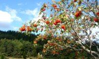 vista parcial de frutificação de tramazeira, cornogodinho, sorveira-brava – Sorbus aucuparia
