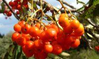frutos maduros de tramazeira, cornogodinho, sorveira-brava – Sorbus aucuparia