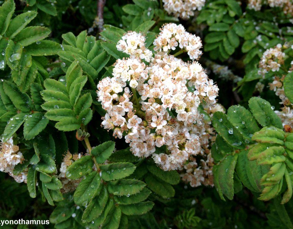 flores e folhas de tramazeira-da-madeira, sorveira-da-madeira - Sorbus maderensis