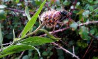 brácteas do botão de lava-pé, viomal – Cheirolophus sempervirens