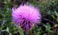 as tonalidades do rosa ao magenta de um captítulo de lava-pé, viomal – Cheirolophus sempervirens