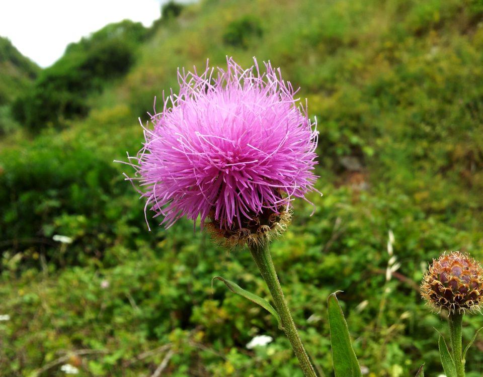 captítulo composto por numerosas flores, lava-pé, viomal – Cheirolophus sempervirens