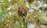 brácteas ciliadas do botão de lava-pé, viomal – Cheirolophus sempervirens