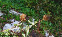 capítulos frutíferos de lava-pé, viomal – Cheirolophus sempervirens