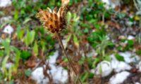 capítulo frutífero de lava-pé, viomal – Cheirolophus sempervirens