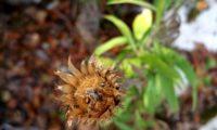 capítulo frutífero, visto de cima de lava-pé, viomal – Cheirolophus sempervirens