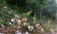 hábito após a floração de lava-pé, viomal – Cheirolophus sempervirens