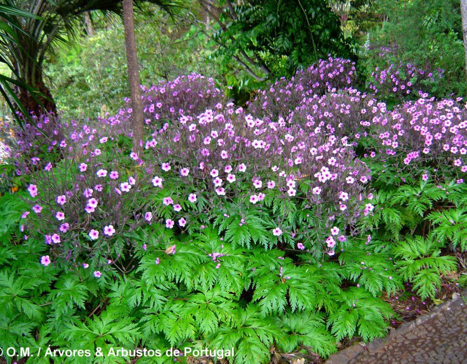 canteiro de gerânios-da-madeira floridos e suas luxuriantes folhas, no Jardim Botânico da Madeira - Geranium maderense
