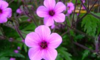 flores rosa-magenta e botões de gerânio-da-madeira, pássaras - Geranium maderense