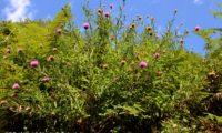 hábito florido de lava-pé, viomal – Cheirolophus sempervirens