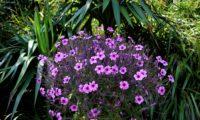 cimeira de gerânio-da-madeira, pássaras em floração - Geranium maderense