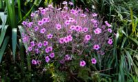 cimeira de pássaras ou gerânio-da-madeira em floração - Geranium maderense