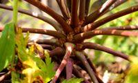 base dos pecíolos castanho-avermelhados dispostos em roseta e aglomerados no topo do caule de gerânio-da-madeira ou pássaras - Geranium maderense