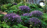 canteiro de pássaras ou gerânios-da-madeira em plena floração no Jardim Georges Delaselle - Geranium maderense