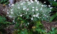 forma característica de gerânio-da-madeira, ou pássaras em plena floração, variedade 'Guernsey White' - Geranium maderense