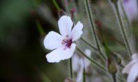 flor com pétalas brancas da variedade 'Guernsey White' de pássaras, gerânio-da-madeira - Geranium maderense