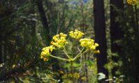 umbela terminal, amarelada de beleza, mata-boi - Bupleurum fruticosum