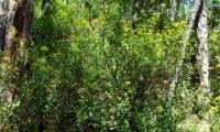 hábito florido de mata-boi - Bupleurum fruticosum