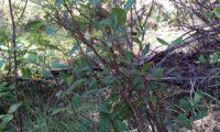 hábito folhudo no meio natural de beleza, mata-boi - Bupleurum fruticosum