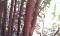 caules lenhosos, verrucosos e avermelhados de beleza, mata-boi - Bupleurum fruticosum