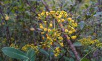 umbela terminal, flores carnudas e folhagem de beleza, mata-boi - Bupleurum fruticosum