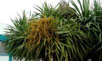 hábito isolado de dragoeiro, árvore-dragão, dragoneiro, drago, em frutificação - Dracaena draco
