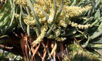 panículas, flores de dragoeiro, árvore-dragão, dragoneiro, drago - Dracaena draco