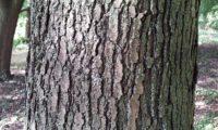 ritidoma fendilhado verticalmente de zêlha, enguelgue, bordo-de-mompilher, adulto - Acer monspessulanum