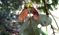 dissâmaras quase maduras de zêlha, enguelgue, bordo-de-mompilher - Acer monspessulanum