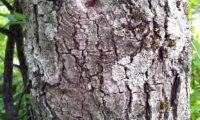 ritidoma adulto, escamoso que se deprende em placas, de zêlha, enguelgue, bordo-de-mompilher - Acer monspessulanum