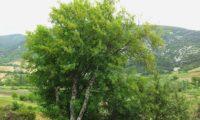 copa irregular de zêlha isolada - Acer monspessulanum