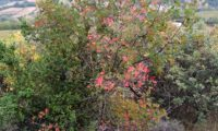 hábito outonal colorido de zêlha - Acer monspessulanum