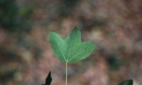 nervuras salientes de página inferior de zêlha, enguelgue, bordo-de-mompilher - Acer monspessulanum