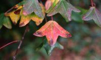 páginas superiores de zêlha, enguelgue, bordo-de-mompilher cores outonais - Acer monspessulanum