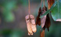 dissâmaras, ou frutos maduros de zêlha, enguelgue, bordo-de-mompilher - Acer monspessulanum