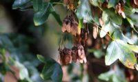 duplas sâmaras maduras de zêlha, enguelgue, bordo-de-mompilher, com asas membranosas que facilitam a dispersão pelo vento - Acer monspessulanum