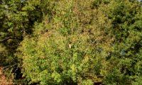 hábito de zêlha jovem isolada - Acer monspessulanum